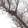 Red-tailed Hawk and nest <br /> Cedar County Mo