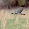 Northern Harrier <br /> Intersection of Hwy N and 39<br /> Cedar County Mo <br /> 2018-04-05