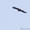 Bald Eagle <br /> Cedar County Mo