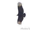 Black Vulture <br /> Intersection of Hwy N and 39<br /> Cedar County Mo <br /> 2018-04-06