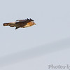 Red-tailed Hawk <br /> Cedar County Mo