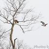 Red-tailed Hawks <br /> Cedar County Mo