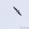 Osprey <br /> Cedar County Mo