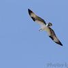 Osprey <br /> Stockton Lake <br /> 2018-04-04