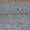 American White Pelican •  Ruddy Ducks <br /> Double Crested Cormorants <br /> Ellis bay <br /> Riverlands Migratory Bird Sanctuary
