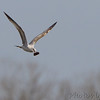 Ring-billed Gull <br /> Carrying what looks like is a corncob <br /> Ellis Bay <br /> Riverlands Migratory Bird Sanctuary