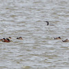 Red-throated Loon and Ruddy Ducks<br /> Ellis Bay <br /> Riverlands Migratory Bird Sanctuary