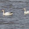 Snow Geese <br /> Under the Clark Bridge <br /> Mississippi River <br /> Riverlands Migratory Bird Sanctuary