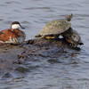 Ruddy Duck (male)<br /> Ellis Bay <br /> Riverlands Migratory Bird Sanctuary