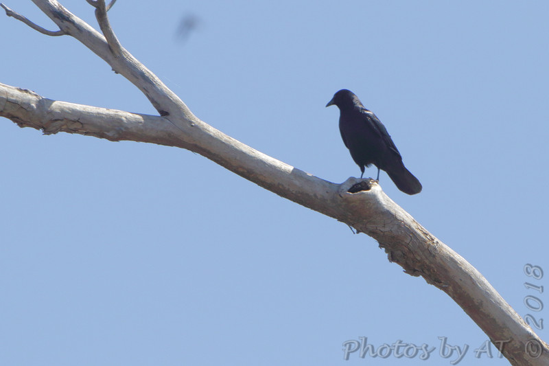 Fish Crow (calling) <br /> Lincoln Shields Area <br /> Riverlands Migratory Bird Sanctuary