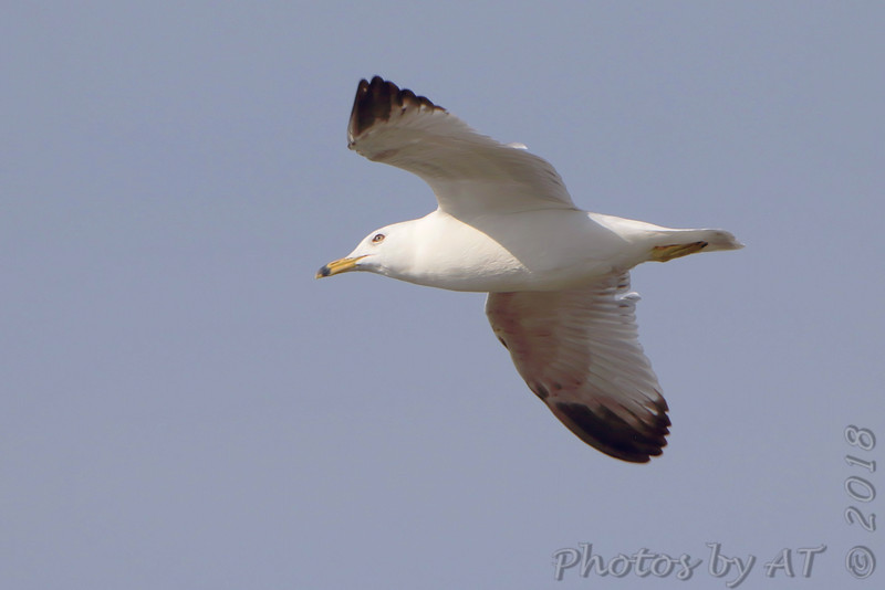 Ring-billed Gull <br /> Below Melvin Price Dam <br /> Riverlands Migratory Bird Sanctuary