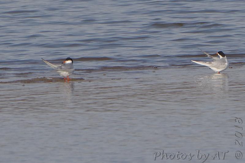 Forster's Terns <br /> Ellis Bay <br /> Riverlands Migratory Bird Sanctuary