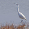Great Egret <br /> Ellis Bay <br /> Riverlands Migratory Bird Sanctuary