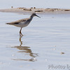 Lesser Yellowlegs <br /> Lincoln Shields Area <br /> Riverlands Migratory Bird Sanctuary