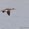 Red-breasted Merganser <br /> Ellis Bay <br /> Riverlands Migratory Bird Sanctuary