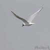 Bonaparte's Gull <br /> Ellis Bay <br /> Riverlands Migratory Bird Sanctuary