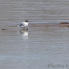 Bonaparte's Gull <br /> Ellis Bay <br /> Riverlands Migratory Bird Sanctuary