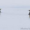 Double-crested Cormorant <br /> Ellis Bay <br /> Riverlands Migratory Bird Sanctuary