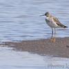 Lesser Yellowlegs <br /> Ellis bay <br /> Riverlands Migratory Bird Sanctuary