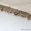 Cliff Swallows <br /> Under Clark Bridge <br /> Mississippi River <br /> Riverlands Migratory Bird Sanctuary