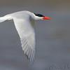 Caspian Tern<br /> Below Melvin Price Dam <br /> Riverlands Migratory Bird Sanctuary