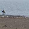 """Marbled Godwit <br> Ellis Bay <br> Riverlands Migratory Bird Sanctuary <br> 2018-04-17 13:25:17 <br>  <span class=""""noShowSmart""""> <a href=""""/MyKeywords/Bird-Videos/n-gF9bt/i-ttHs3v9/A""""> <span style=""""color:yellow"""">Click here to open video in lightbox/full screen</span></a> </span>  <span class=""""noShowGallery""""> <a href=""""/Birds/2018-Birding/Birding-2018-April/2018-04-17-Riverlands-Migratory-Bird-Sanctuary/i-ttHs3v9/A""""> <span style=""""color:yellow"""">Click here to open video in lightbox/full screen</span></a> </span>"""