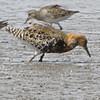 """Ruff Thumb 7D5A6950_7D3-0.jpg <br /> <br /> <a href=""""https://www.photosbyat.com/Birds/2018-Birding/Birding-2018-April/2018-04-20-Canteen-Lake-and-RMBS/i-qtmwCLz"""">https://www.photosbyat.com/Birds/2018-Birding/Birding-2018-April/2018-04-20-Canteen-Lake-and-RMBS/i-qtmwCLz</a>"""