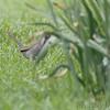 Green-tailed Towhee <br /> Dallas County, Mo