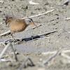 Virginia Rail <br /> Heron Pond  <br /> Riverlands Migratory Bird Sanctuary