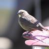 Brown-headed Cowbird <br /> Bridgeton, Mo. <br /> 2018-04-28