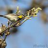 Yellow-rumped Warbler <br /> Bridgeton, Mo. <br /> 2018-04-28