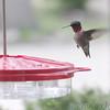 Ruby-throated Hummingbird <br /> Bridgeton, Mo. <br /> 2018-04-25