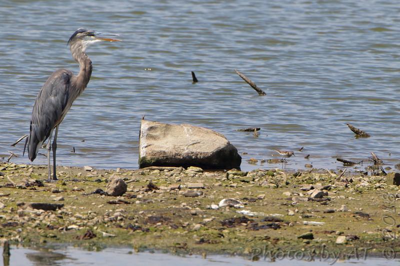 Great-blue Heron and Least Sandpiper <br /> Teal Pond <br /> Riverlands Migratory Bird Sanctuary