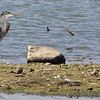 Great-blue Heron and Least Sandpiper <br /> Teal Pond <br /> Riverlands Migratory Bird Sanctuary