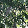 Yellow-billed Cuckoo <br /> Preening after bath <br /> Confluence Point Road