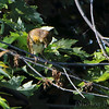 Dickcissel <br /> Preening after bath <br /> Confluence Point Road