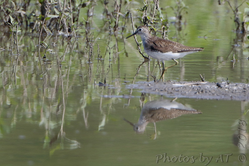 """Solitary Sandpiper <br /> """"Entrance Pool""""  (South side) <br /> Just before State park entrance sign <br /> Confluence Point Road"""