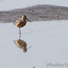 Short-billed Dowitcher <br /> Levee pool <br /> Road to Confluence Point State Park