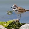 Killdeer<br /> Teal Pond <br /> Riverlands Migratory Bird Sanctuary