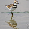 Killdeer <br /> Levee pool <br /> Road to Confluence Point State Park