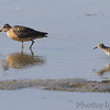 Short-billed Dowitcher & Least Sandpiper <br /> Levee pool <br /> Road to Confluence Point State Park