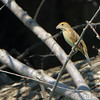 Indigo Bunting <br /> Road to Confluence Point State Park