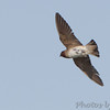 Cliff Swallow <br /> Above levee at Levee pool <br /> Road to Confluence Point State Park