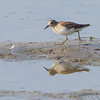 Least Sandpiper <br /> Levee pool <br /> Road to Confluence Point State Park