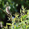 Song Sparrow <br /> Preening after bath <br /> Confluence Point Road