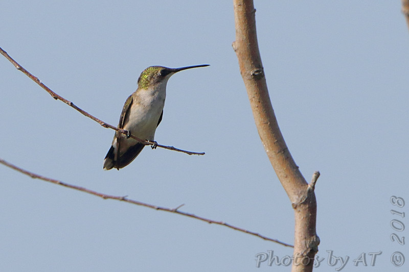 Ruby-throated Hummingbird <br /> Road to Confluence Point State Park