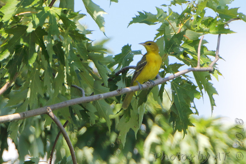 Orchard Oriole <br /> Road to Confluence Point State Park