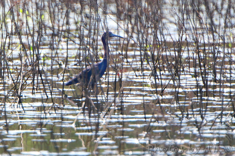 Little Blue Heron <br /> Pipeline Pool (west side) <br /> Confluence Point Road <br /> Confluence Point State Park