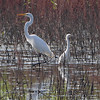 Snowy Egret and Great Egret <br /> Power Line Pool (West side) <br /> Confluence Point Road <br /> Confluence Point State Park