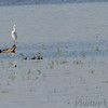 Ruddy Ducks (four) chasing a Pied-billed Grebe <br /> Ellis Bay <br /> Riverlands Migratory Bird Sanctuary